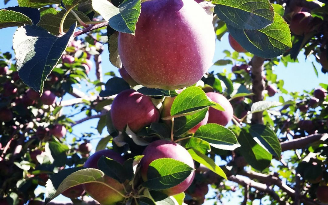 C'est le temps des pommes! 15 super vergers pour faire le plein!